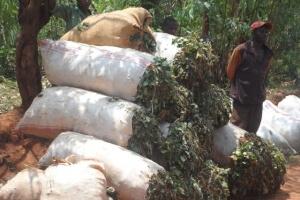 非洲蒲隆地-廣藿香農場