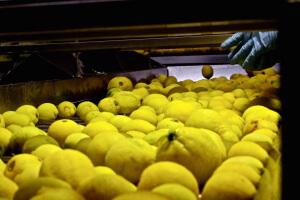 義大利-檸檬農場