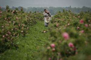 保加利亞-玫瑰農場