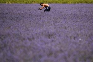 普羅旺斯-薰衣草農場
